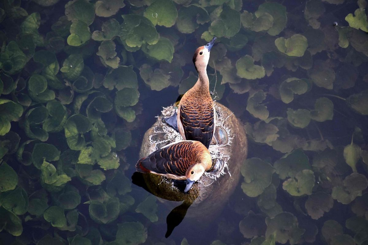 A pair of lesser whistling ducks searching for food in the polluted river of Daya on the outskirts of Bhubaneswar during a hot afternoon, on June 19, 2018. PHOTO: AFP