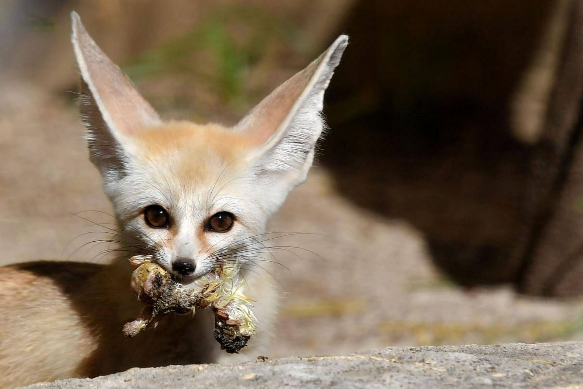 A picture taken on June 27, 2018, shows a fennec at Rome's biopark.