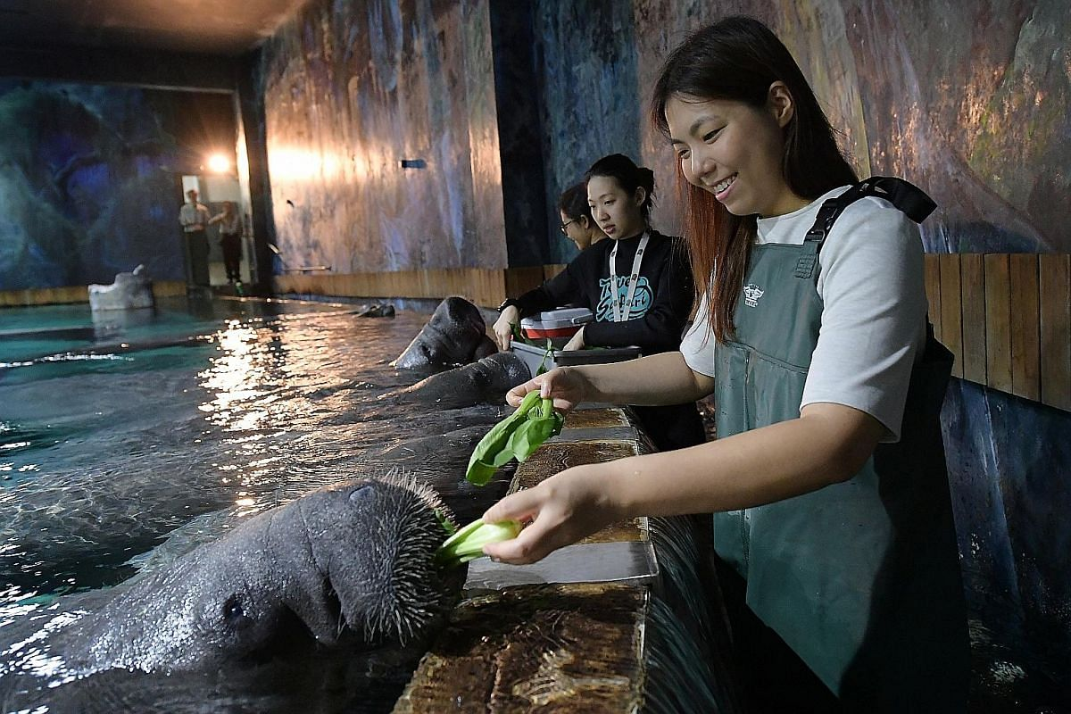 The Straits Times' writer Melissa Heng feeding the manatees (above) at the River Safari and getting up close to a crested gecko (left) at the Singapore Zoo. Visitors at Adventure Cove Waterpark with cownose rays at the Ray Bay.