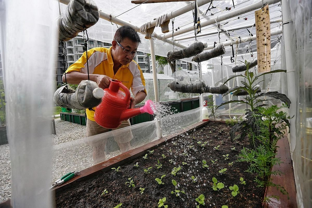 Above: Madam Song Hiang Kong, 81, in her allotment garden at Punggol Park. She grows fruit and vegetables such as caixin and red spinach. Left: Mr Ng Chai Hiak, 58, is happy to finally have his own green space at Punggol Park, after failing to get a