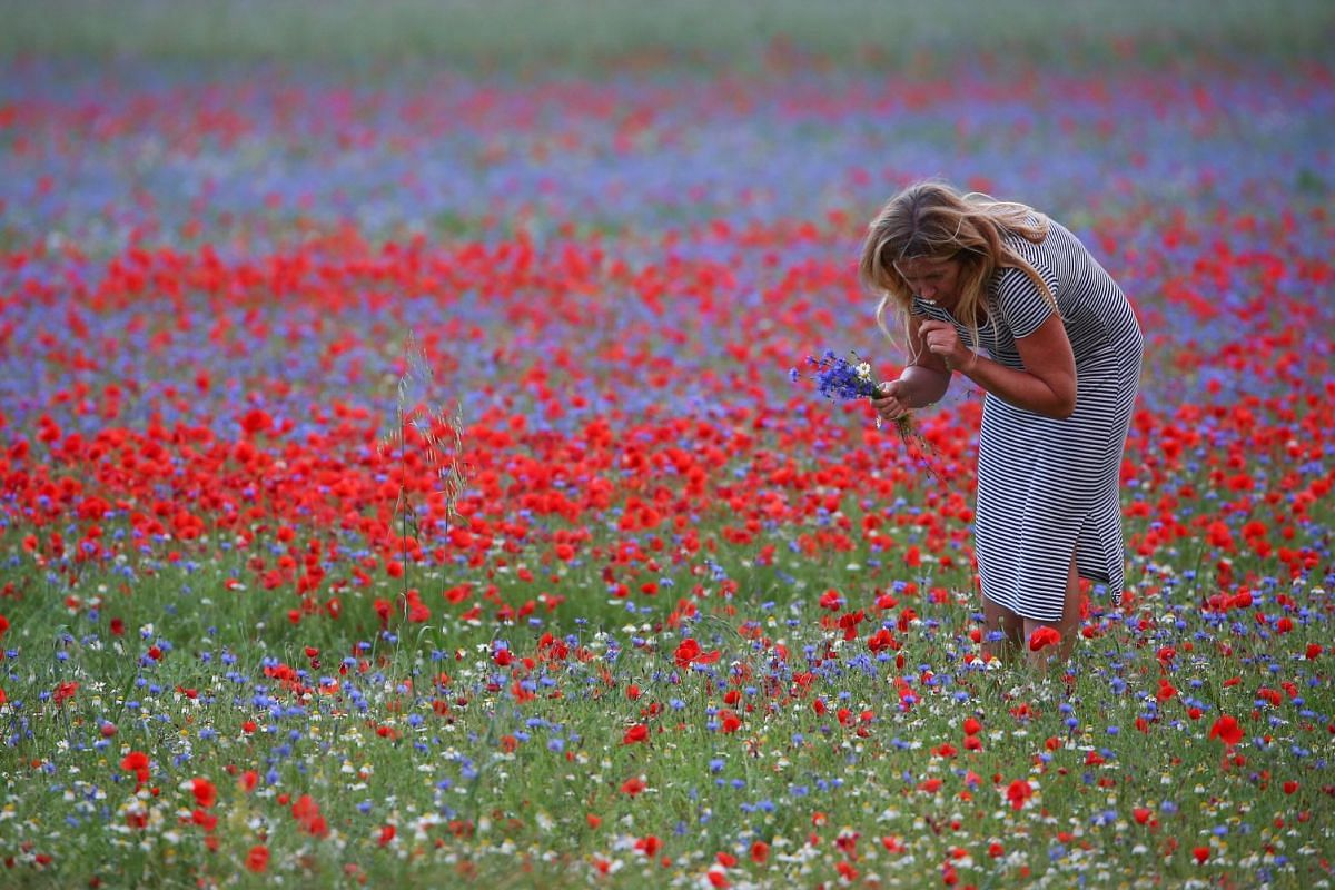 A woman collects flowers during the annual blossom in Castelluccio di Norcia near Perugia, Italy, July 12, 2018.