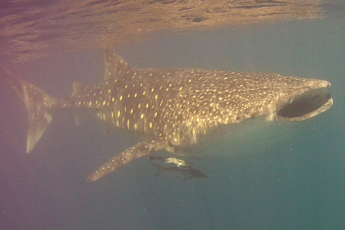 Turquoise Bay, ranked among Australia's top beaches, gives way to a crystal clear lagoon with fish-filled coral gardens. Whale sharks arrive at the reef every year around the time of coral spawning, between seven and 10 days after the full moon in Ma