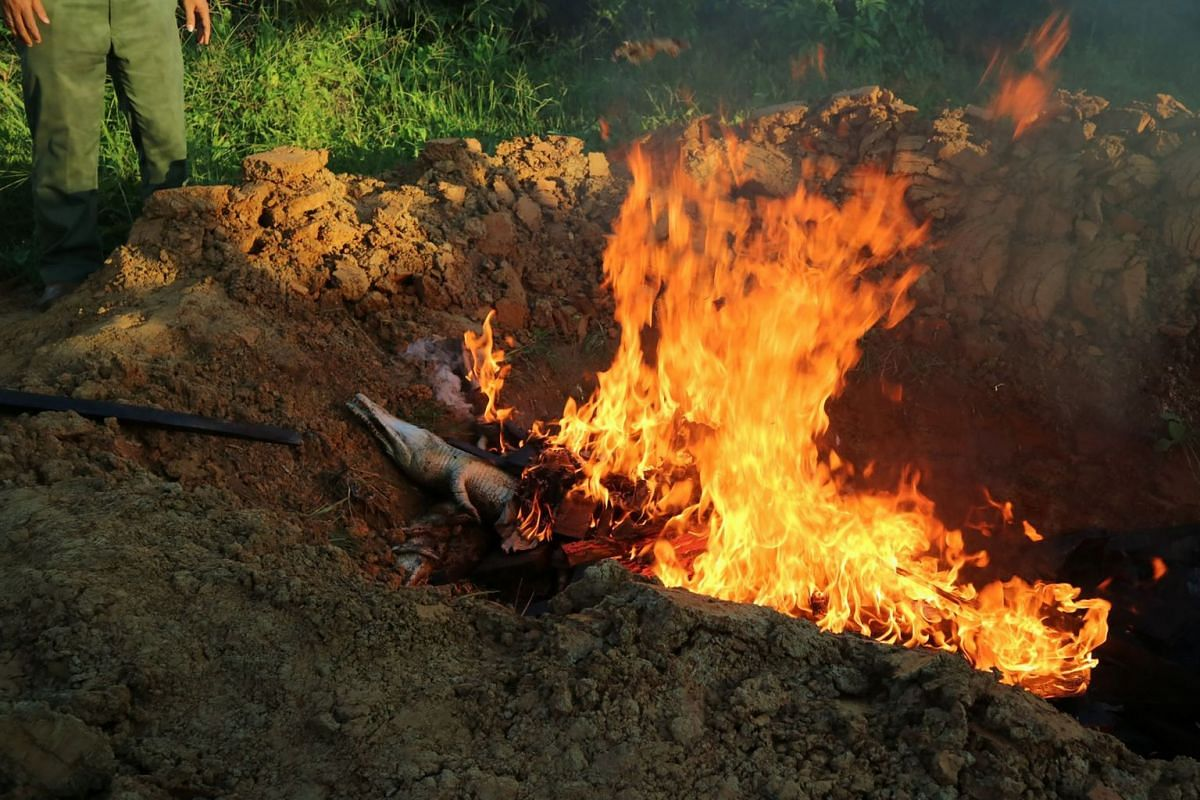 Crocodile carcasses are set alight in a pit filled with wood in Sorong, Papua province on July 17, 2018, after nearly 300 crocodiles at a breeding farm on July 14 were killed by an angry mob. PHOTO: AFP