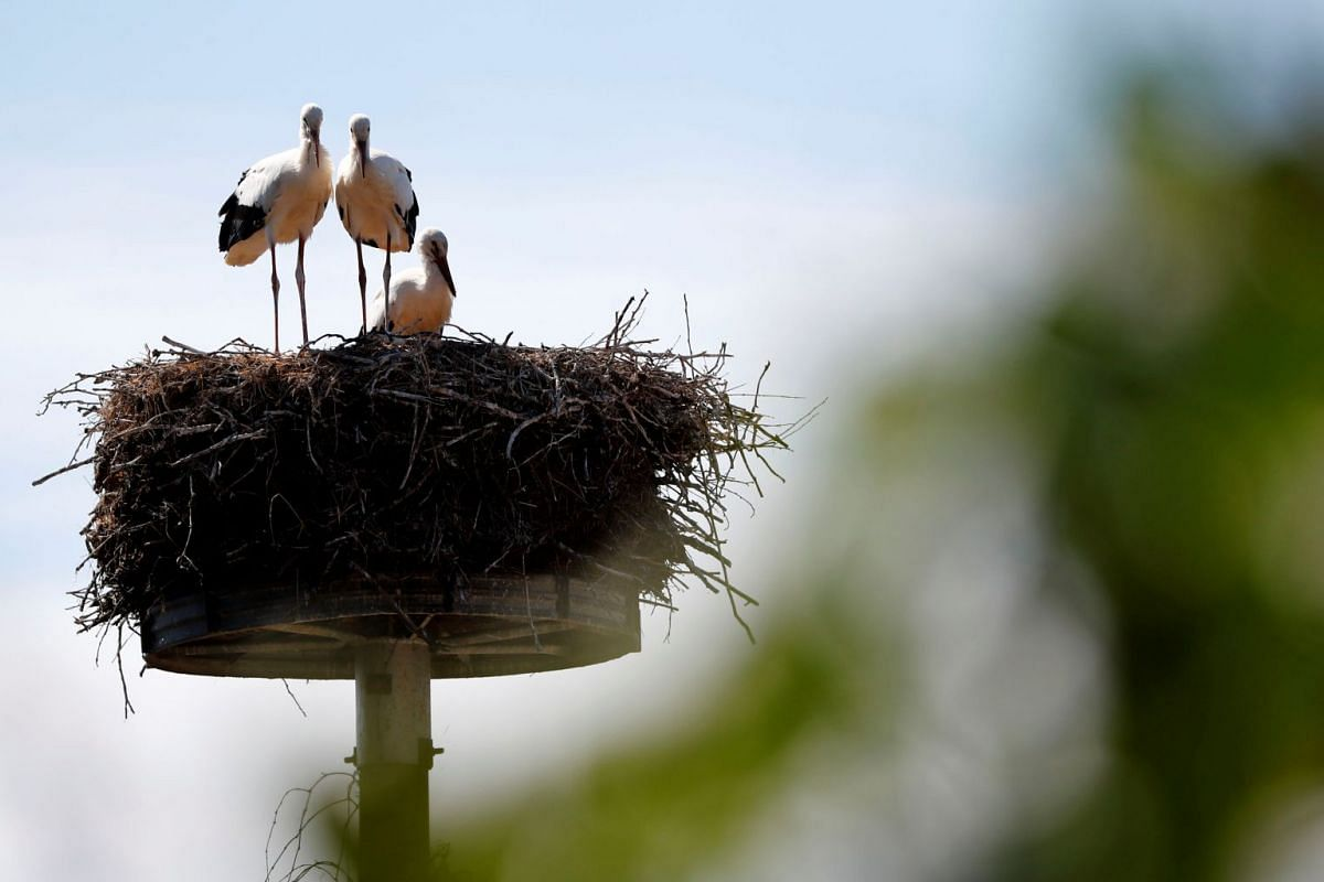 Storks are seen in their nest in Willmersdorf, near the city of Werneuchen, Germany July 30, 2018. PHOTO: REUTERS