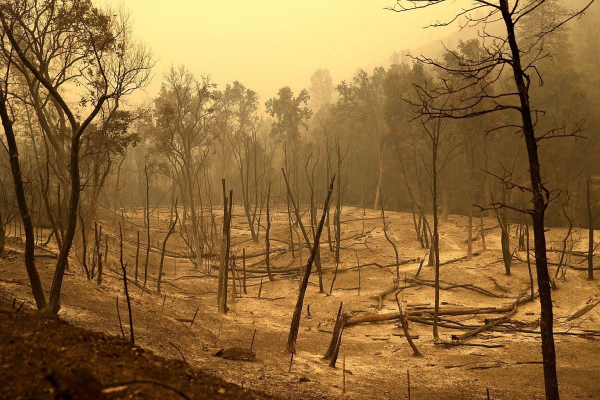 Burnt trees in a field ravaged by the Carr Fire in Whiskeytown, California.