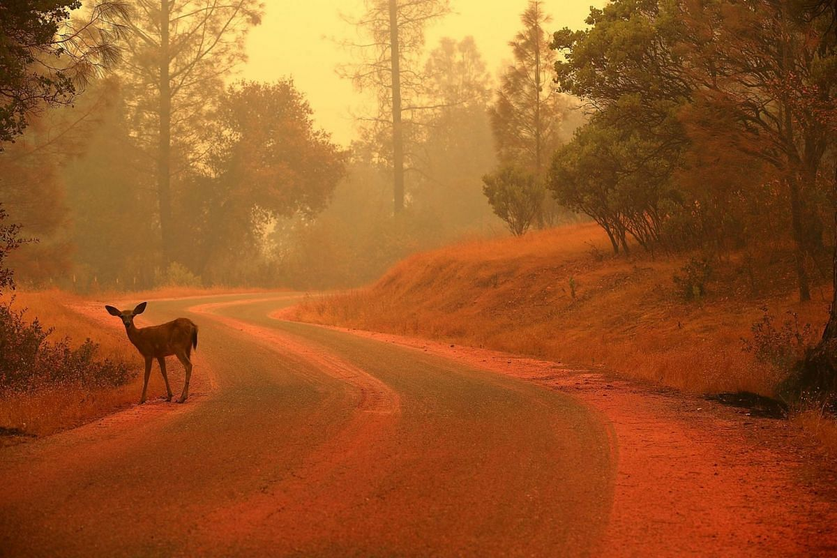 A deer stands on a road covered with fire retardant as the Carr Fire burns in the area, on July 28, 2018.