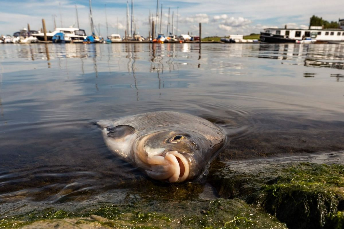 A dead bream lays at the port of Greetsiel, northwestern Germany, on August 1, 2018. As a result of the ongoing heat wave, the fishing village is reporting a massive fish mortality due to a too high salt content in the water. PHOTO: DPA VIA AFP
