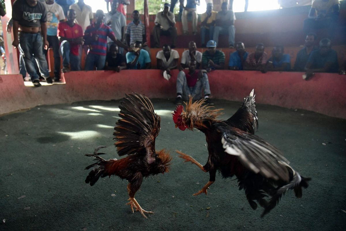 Roosters clash during a cockfight at Bwa Monket in the commune of Petion Ville in the Haitian capital of Port-au-Prince on August 2, 2018. PHOTO: AFP