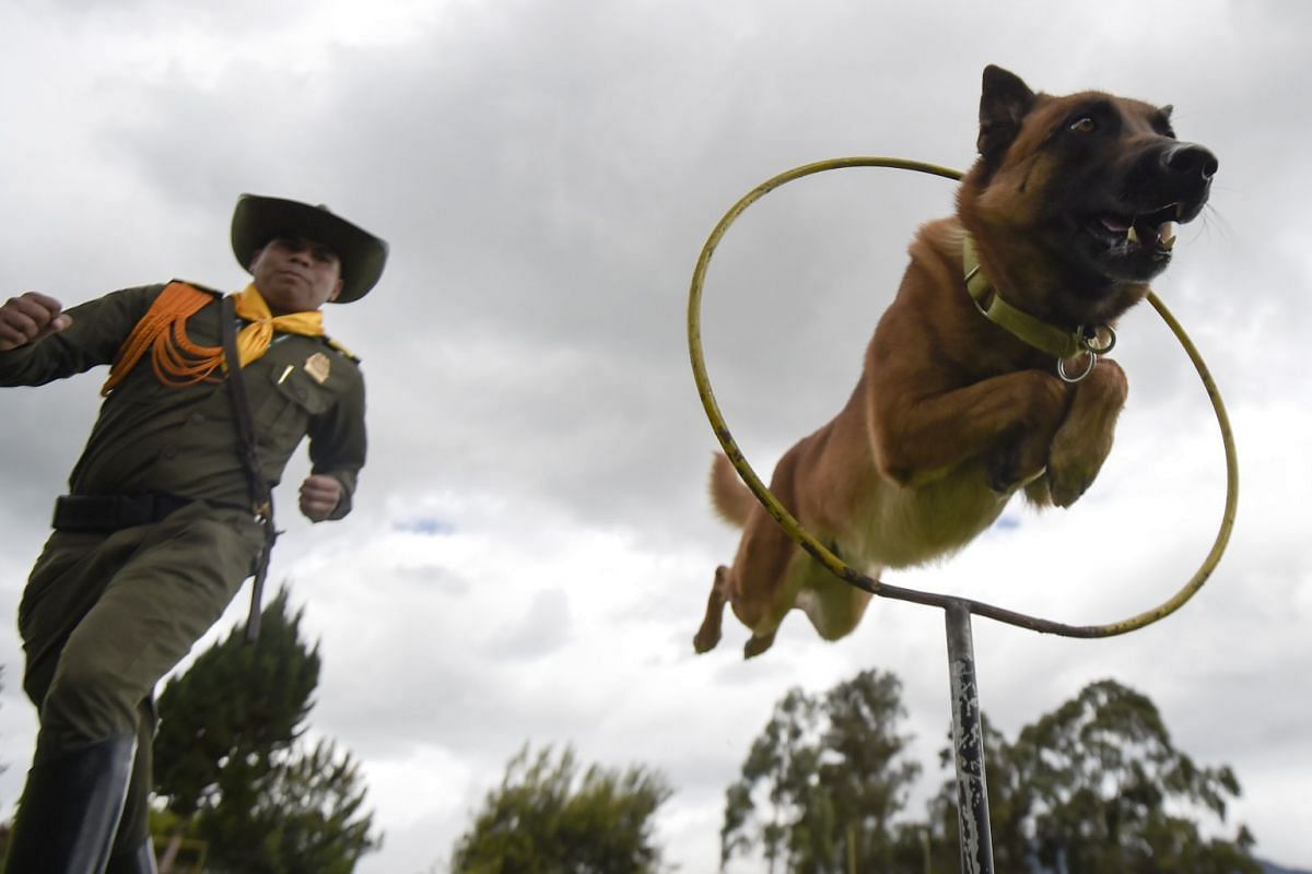 A photo released on Aug 2, 2018 shows a sniffer dog jumping through hoops during a training session at the School of Guides and Canine Training (ESGAC) in Facatativa municipality, Cundinamarca department, Colombia on July 30, 2018. PHOTO: AFP