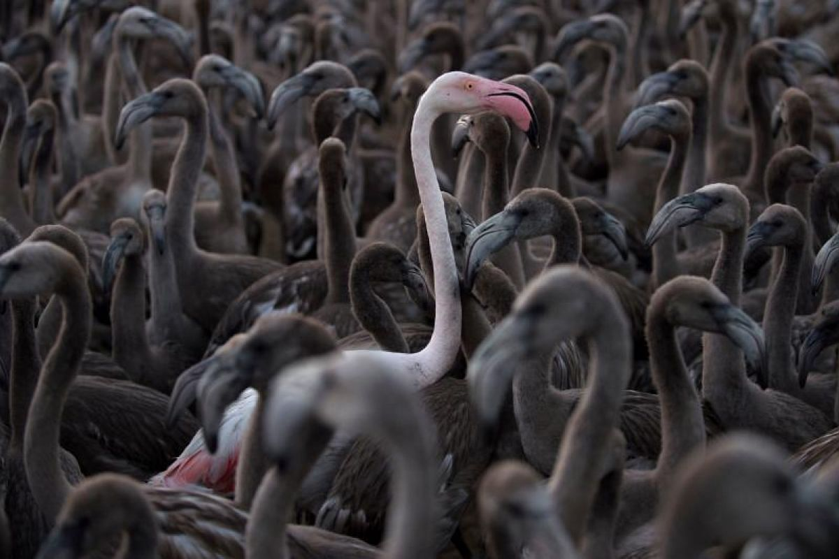 Flamingos move around a pen at Fuente de Piedra lake, 70 kms from Malaga, Spain on Aug 11, 2018 during a tagging and control operation of flamingo chicks to monitor the evolution of the species. The lake, which is the most important breeding ground f