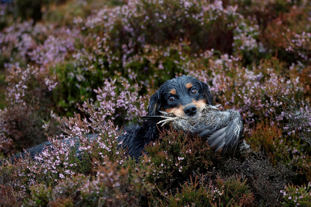 A gundog retrieves a grouse on Forneth Moor on the opening day of the grouse shooting season, Scotland, Britain, August 13, 2018.
