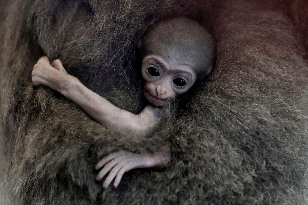 A newly born endangered Silvery Gibbon baby is held by its mother Alangalang at Prague Zoo, Czech Republic, August 14, 2018.