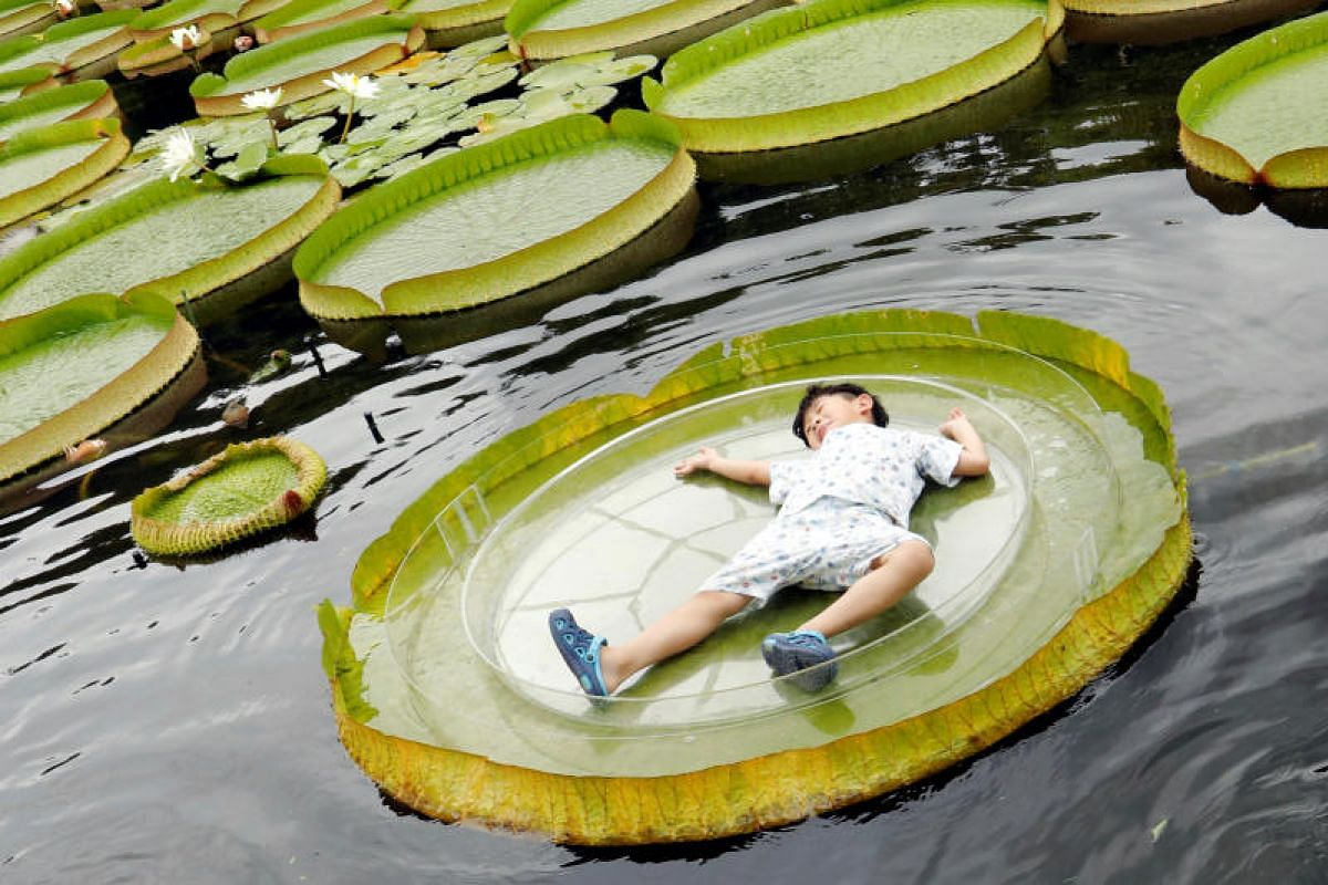 A boy lies on a giant waterlily leaf during an annual leaf-sitting event in Taipei, Taiwan on Aug 16, 2018. PHOTO:REUTERS
