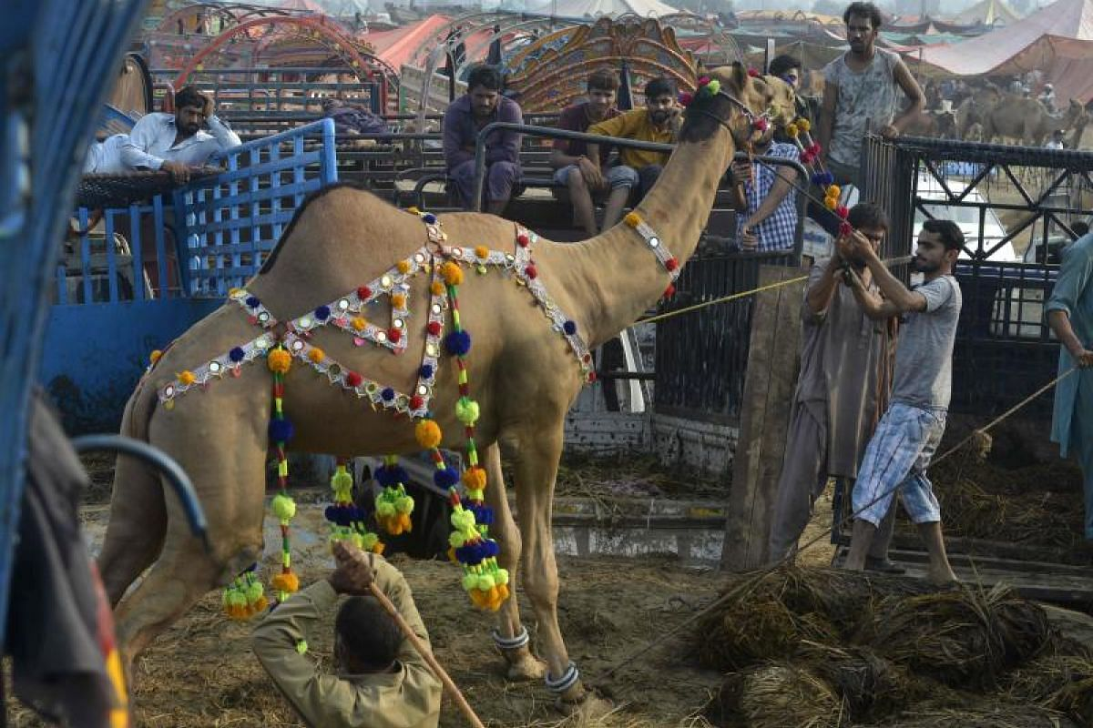 Pakistani vendors load a camel onto a van at a live-stock market in Lahore on Aug 19, 2018, ahead of the Muslim festival Eid al-Adha. Muslims across the world are preparing to celebrate the annual festival of Eid al-Adha, or the Festival of Sacrifice