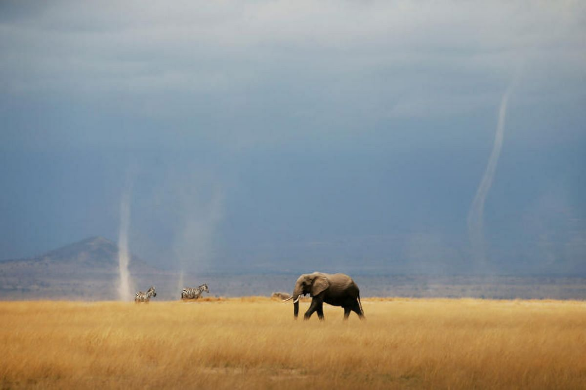 A whirlwind is seen as elephant and zebras walk through the Amboseli National Park in Kenya Aug 19, 2018. PHOTO:REUTERS