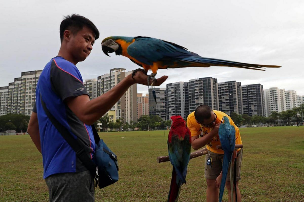 35-year-old Javier Peh (left) with his pet parrots Mystique (blue, on his hand), 2, and four-month-old Marshall (right, red).