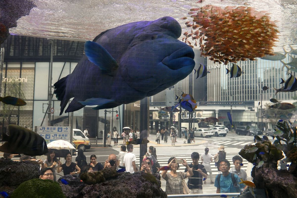 A humphead wrasse Napoleon fish swims with other species of tropical fish from the Japanese southwestern island of Okinawa, in a 5-meter long fish tank at the Sony Aquarium in central Tokyo, Japan, Aug 30, 2018. About 1,000 fish of 25 species, includ