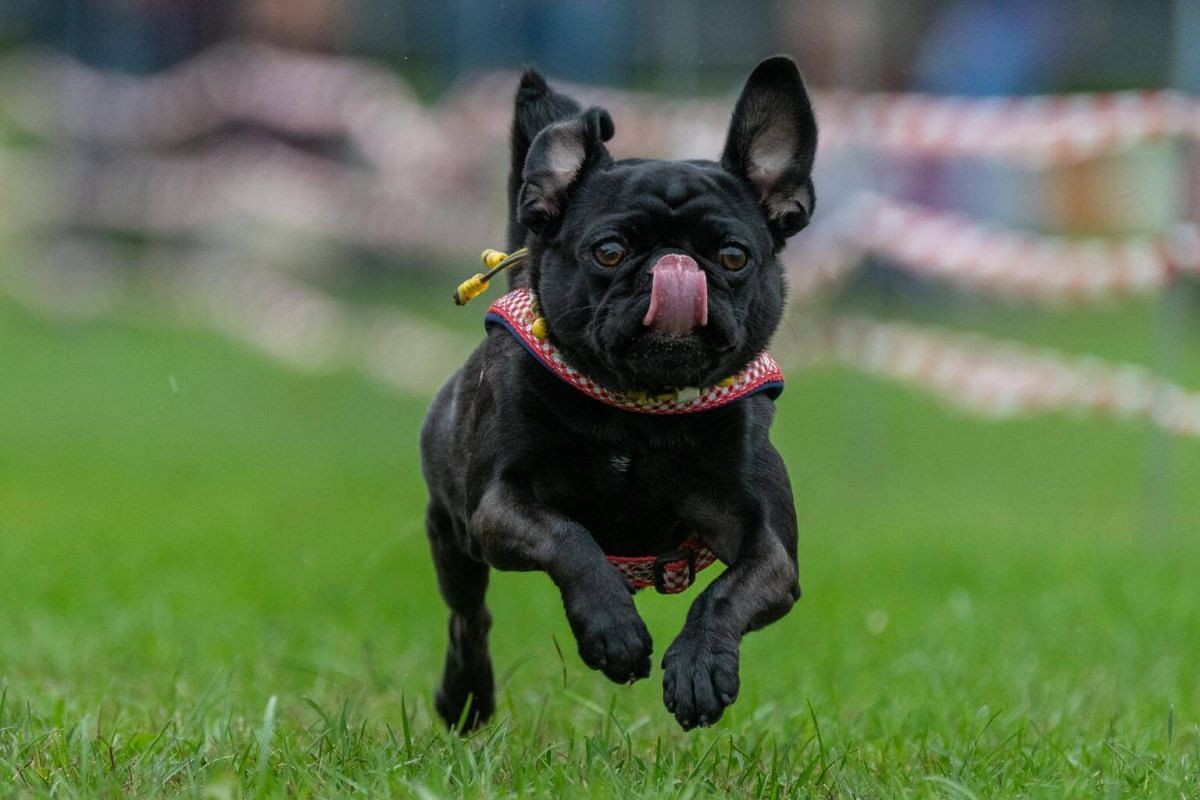 A French bulldog runs on a grass pitch during the 8th Southern German pug and bulldog race in Wernau, southern Germany, on Sept 2, 2018.