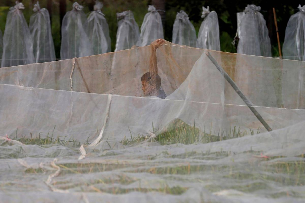 A worker takes off a bird net before rice harvest at Sompot Tubcharoen's farm in Bangkok, on Aug 15, 2018.