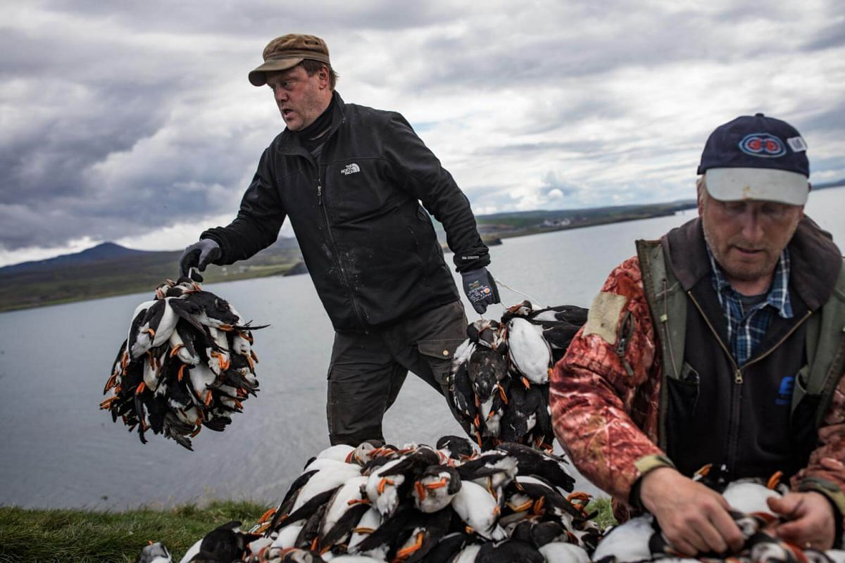 Hunters allowing scientists to tally their catch of puffins on Lundey Island, off the north coast of Iceland, on July 25, 2018.