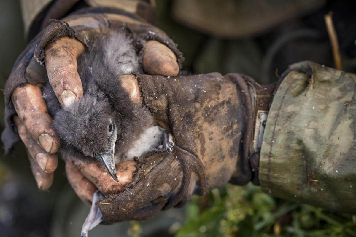A scientist holds a puffin chick extricated from a burrow for study, in Borgarfjarðarhöfn, Iceland, on July 24, 2018.
