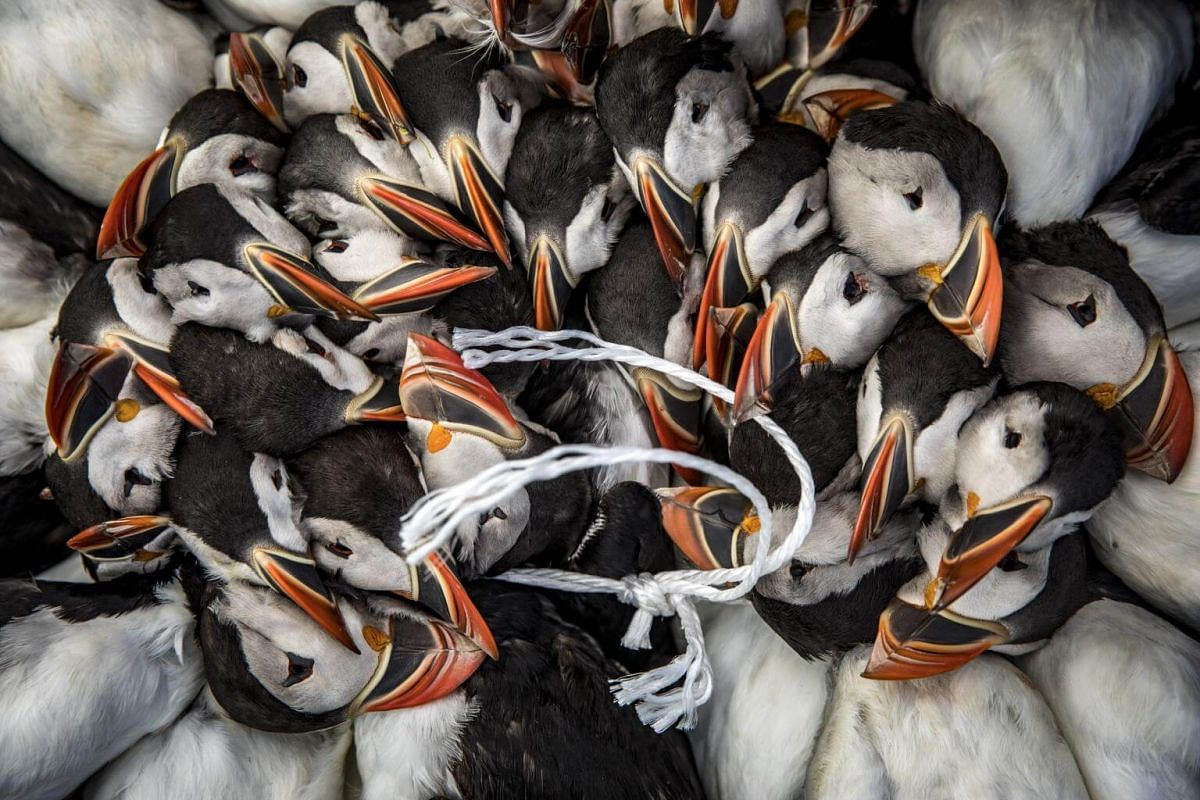 A hunter's catch of puffins, strung together on Lundey Island, off the north coast of Iceland, on July 25, 2018.