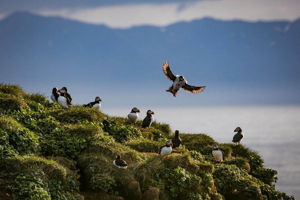 Puffins in Voladalstorfa, Iceland, on July 25, 2018.