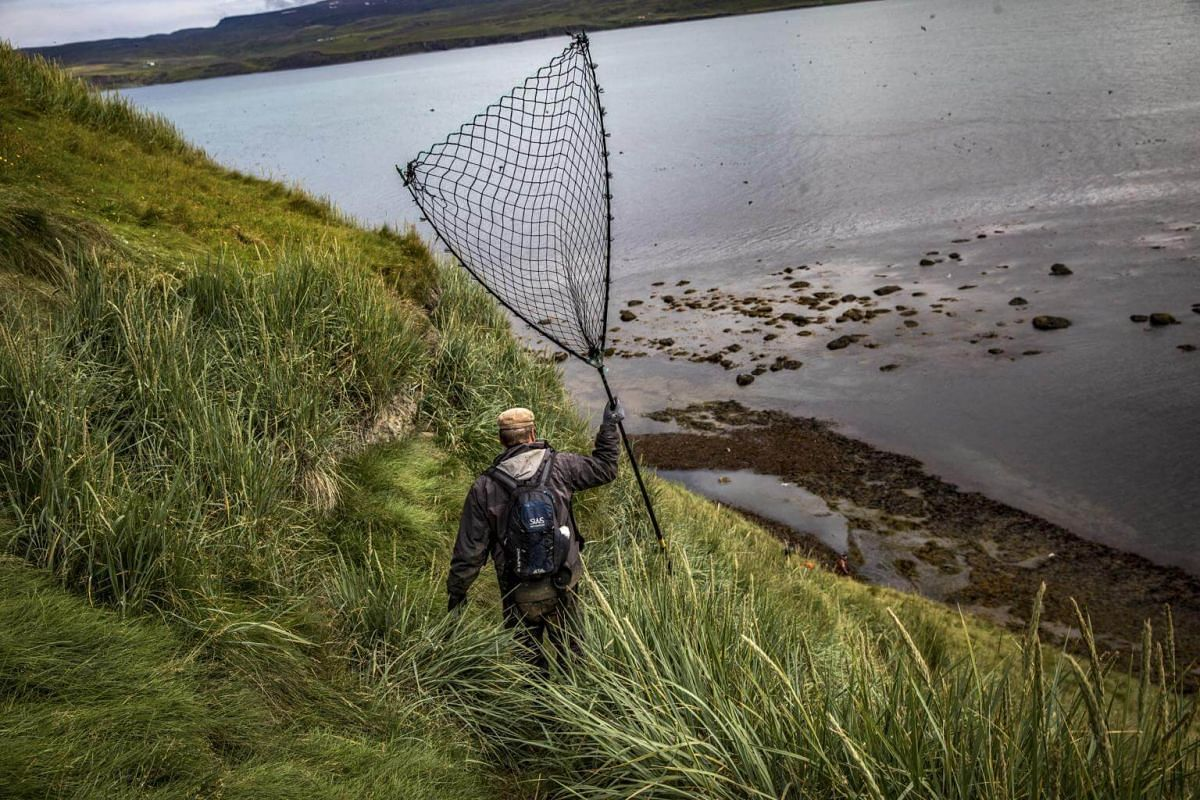 A hunter carries a puffin net on Lundey Island, off the north coast of Iceland, on July 25, 2018.