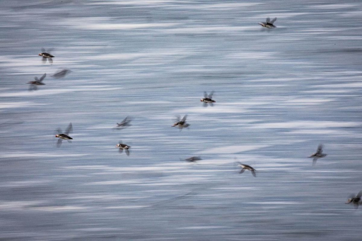Puffins in flight over the water near Svarthamar, Iceland, on July 26, 2018.
