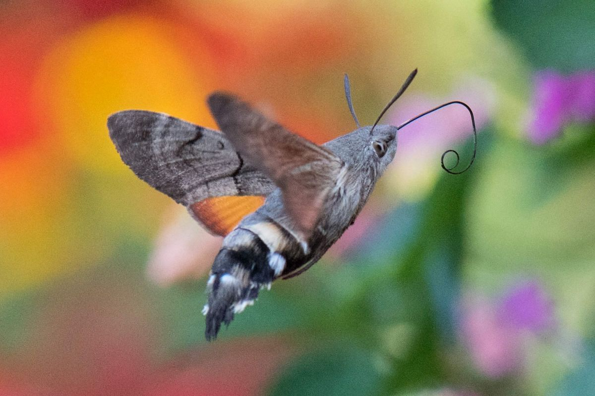 A hummingbird hawk-moth stretches its straw for food in Petershagen, western Germany,  on Sept 4, 2018.