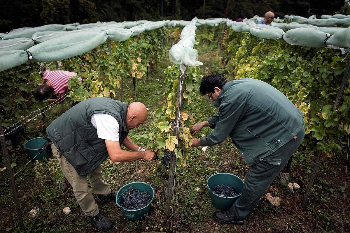 Parisians harvesting grapes from vineyards in Georges-Brassens park.