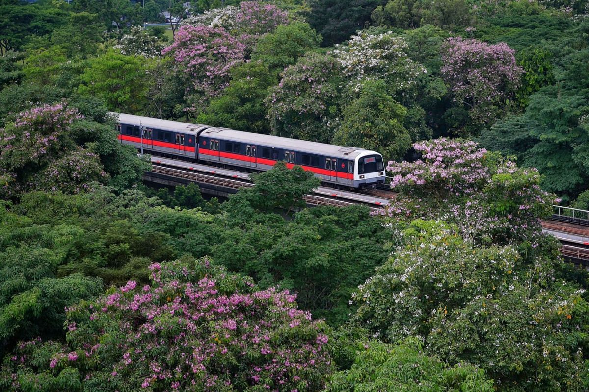 A SMRT train bound for Pasir Ris MRT station making its way past the canopies of Tabebuia rosea also known as trumpet trees, Sep 10, 2018. The flowering trees resemble Japan's famed cherry blossoms, and added a touch of colour to the sea of green at