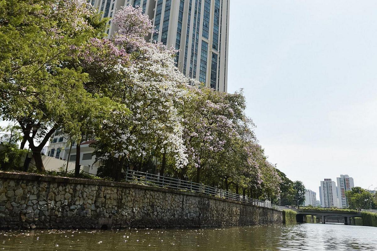 Mass flowering of trees in Kim Seng Park in Singapore, on Sept 13, 2018.