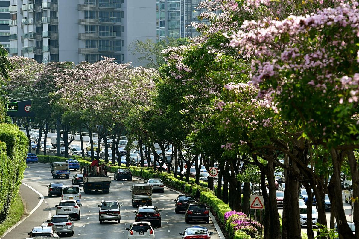 Canopies of mass flowering Tabebuia rosea trees, also known as trumpet trees, along the Central Expressway, near Moulmein Flyover, on Sept 13, 2018.