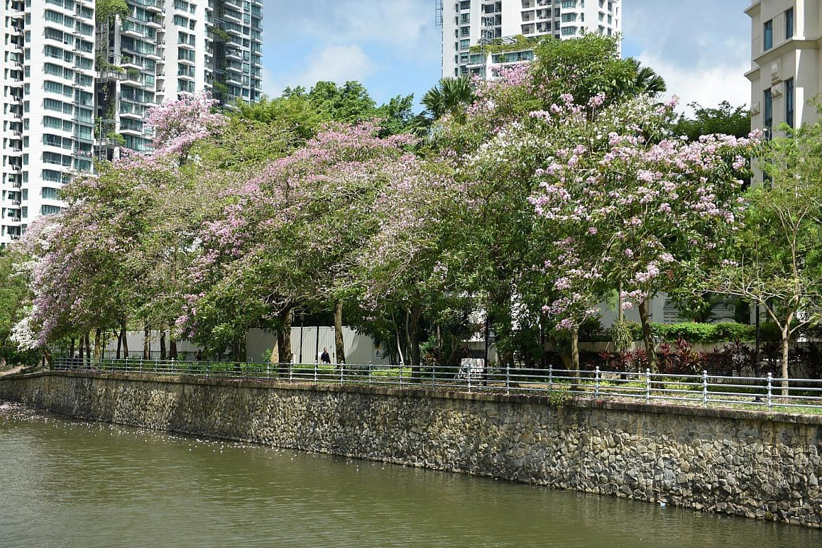 Mass flowering of trees along the Singapore River, on Sept 12, 2018.