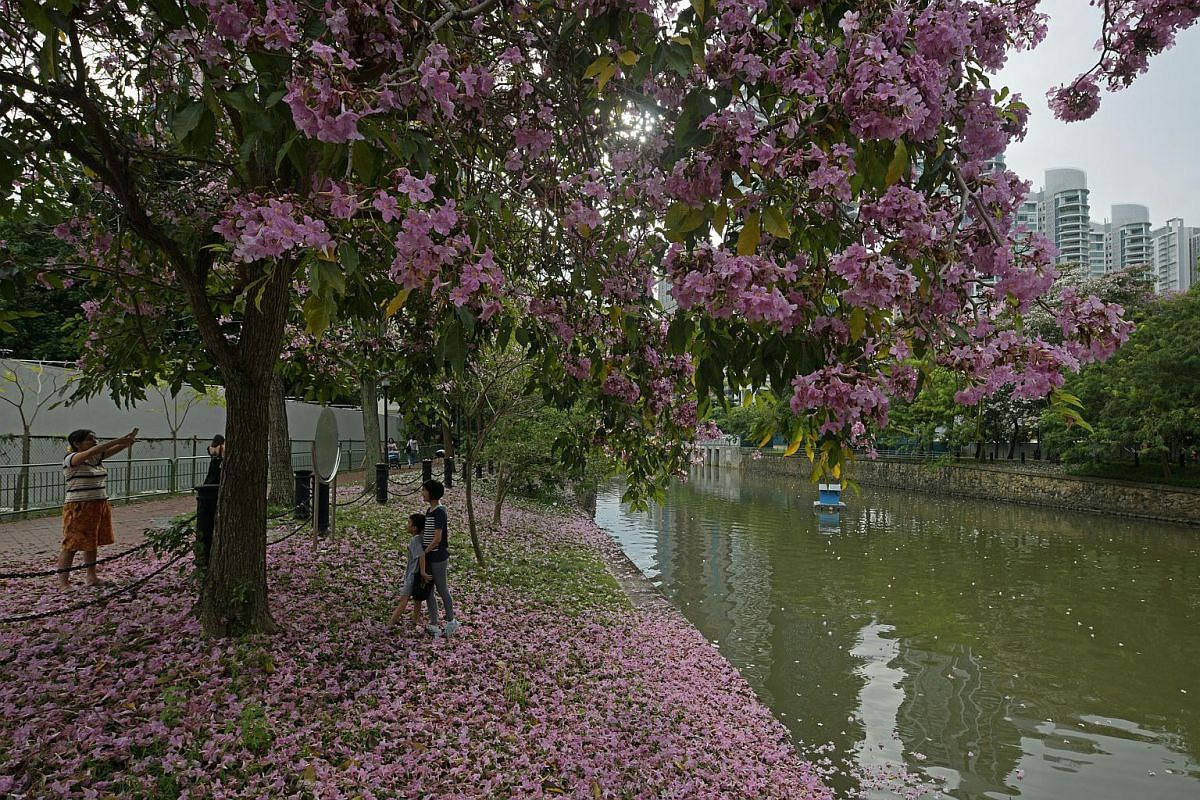The flowering trees resemble Japan's famed cherry blossoms.