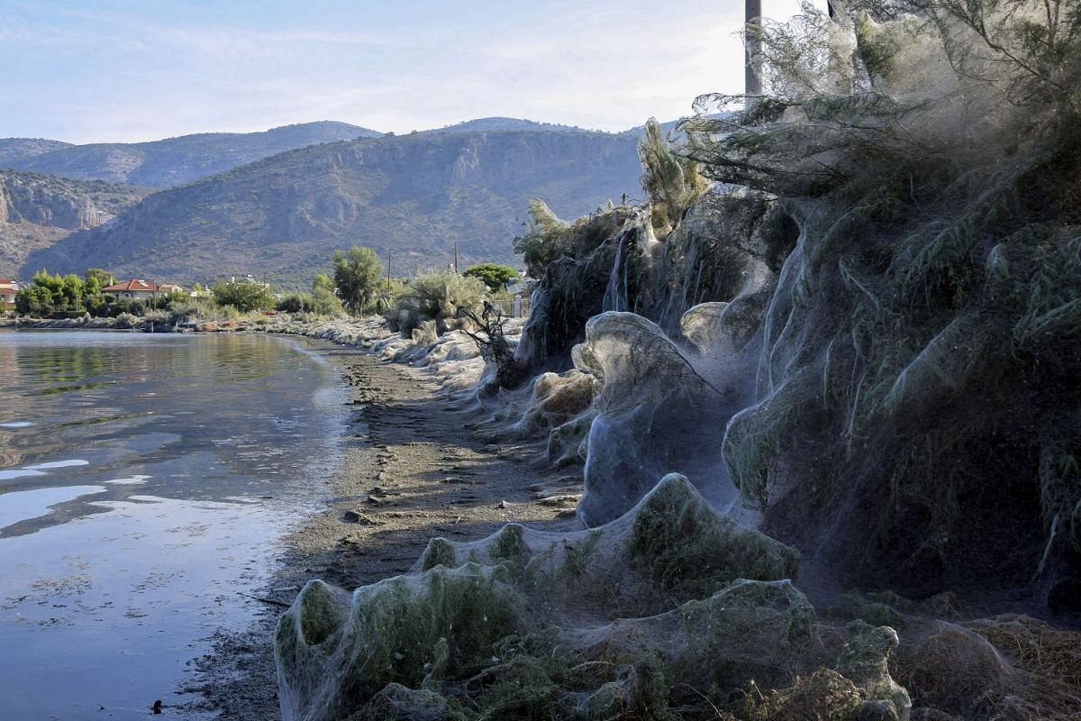 A huge cobweb covers the vegetation along the coast of Aitoliko, about 250 km west of Athens, Greece, 18 September 2018 (issued 19 September 2019). PHOTO: EPA-EFE