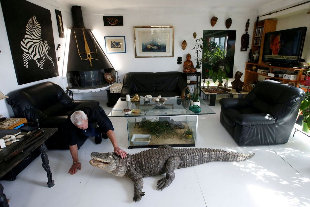 Philippe Gillet, 67 year-old Frenchman who lives with more than 400 reptiles and tamed alligators, gives chicken to his alligator Ali in his living room in Coueron near Nantes, France September 19, 2018. Picture taken September 19, 2018. PHOTO: REUTE