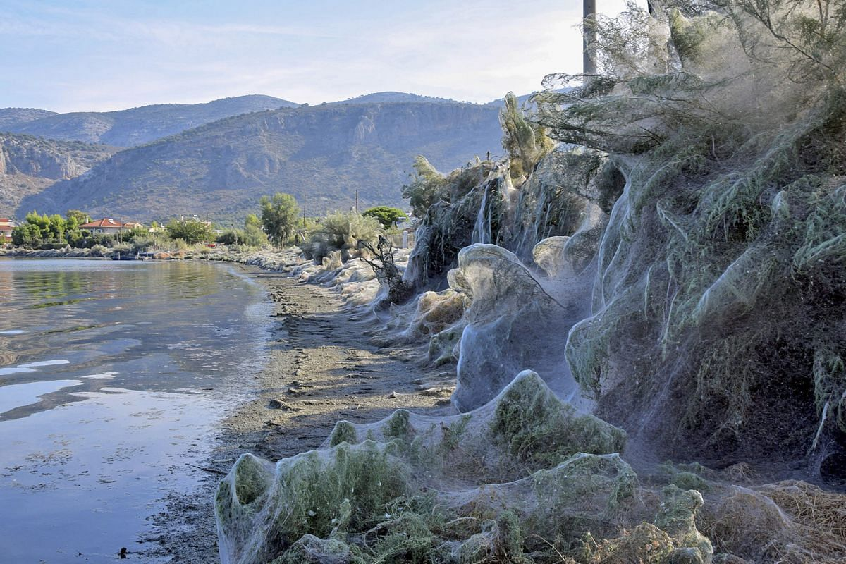 This 300m-long network of cobwebs shrouding the trees, plants and rocks makes it seem as if Halloween has come early to the Greek town of Aitoliko.