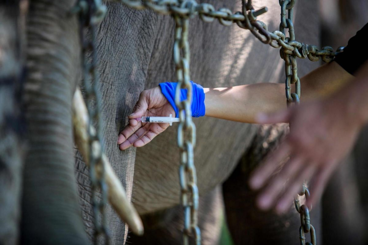 A seven-year-old elephant named Jun receives treatment from veterinarians at Dak Lak Elephant Conservation Centre in Buon Don District, Dak Lak Province.