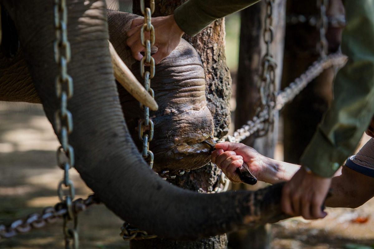 A seven-year-old elephant named Jun receives treatment on his wounded foot from veterinarians at Dak Lak Elephant Conservation Centre in Buon Don District, Dak Lak Province.