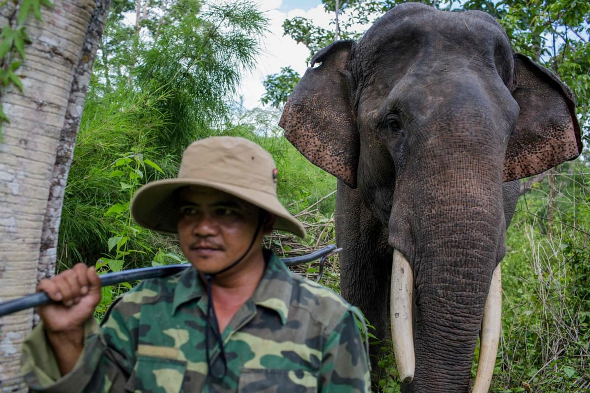 Thong Ngan, a rescued elephant with a broken tusk, walks in Yok Don National Park, Dak Lak province.
