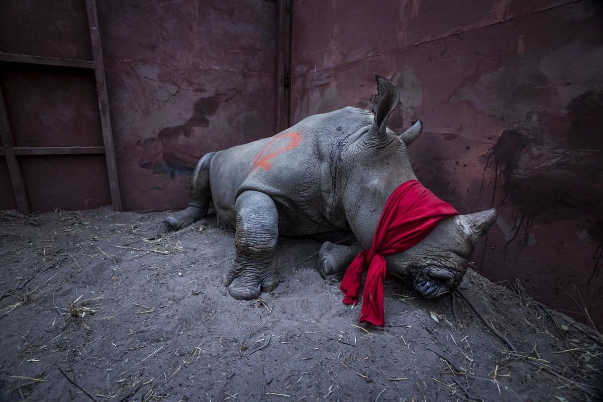 A young southern white rhinoceros, drugged and blindfolded, is about to be released into the wild in Okavango Delta, Botswana, after its relocation from South Africa for protection from poachers, on Sept 21, 2017. Southern white rhinos are classified