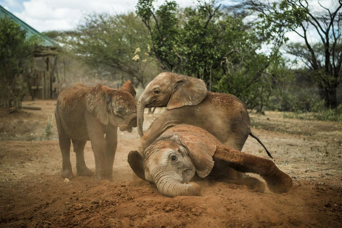 An older elephant shows younger orphans how to take a dust bath at the Reteti Elephant Sanctuary in northern Kenya on Feb 15, 2017. A coating of dirt protects elephants against the sun and insects.