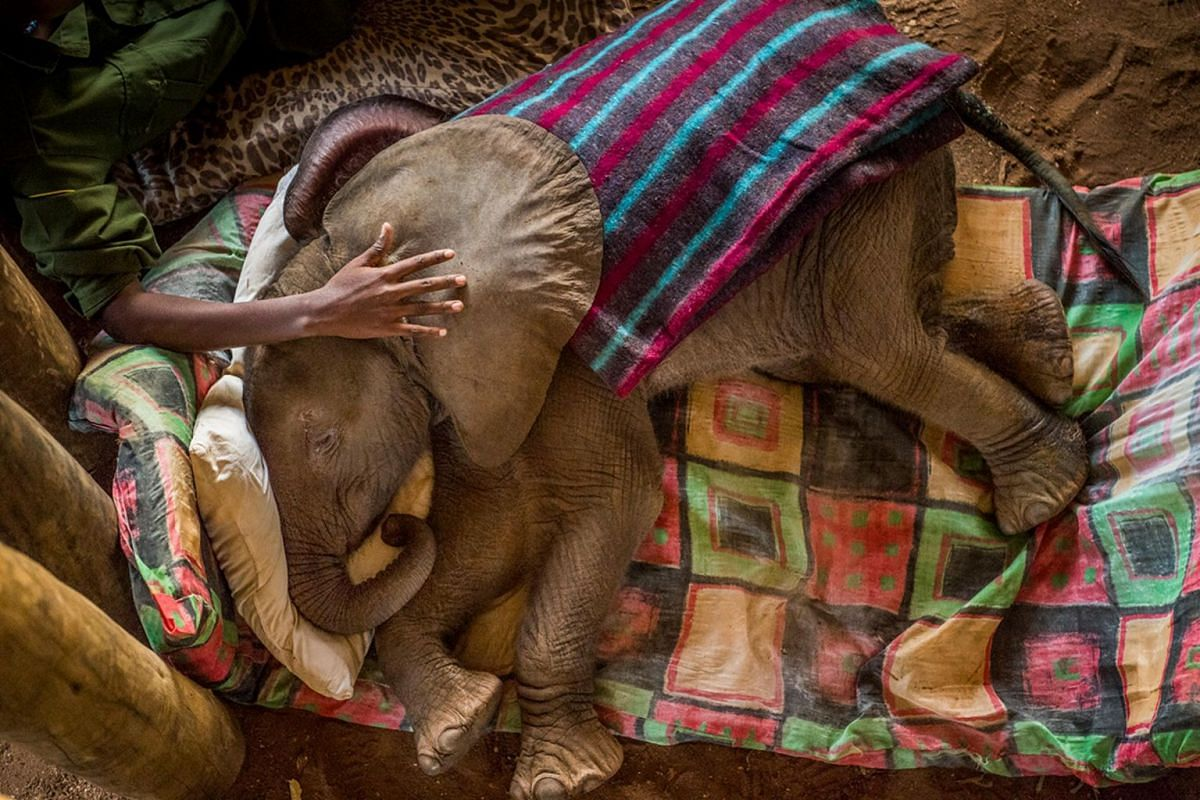 A rescued baby elephant is tended to at the Reteti Elephant Sanctuary in northern Kenya on Sept 29, 2016.