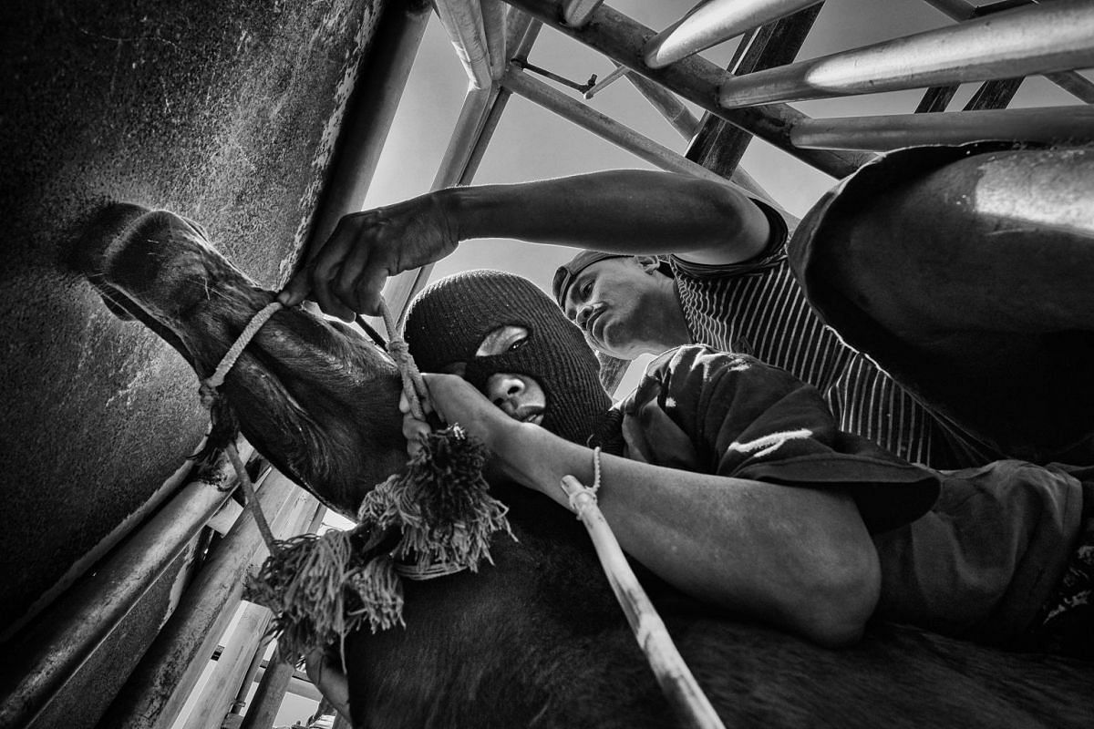 A jockey readies himself for the opening of the gate, as his trainer makes final adjustments, during Maen Jaran horse races, on Sumbawa Island, Indonesia, on Sept 19, 2017.