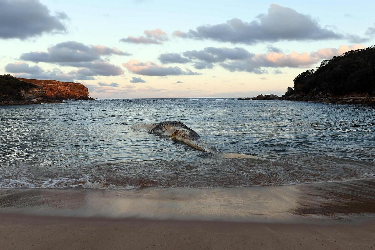 A large whale carcass is seen on Wattamola Beach at the Royal National Park in Sydney, on Sept 25, 2018.