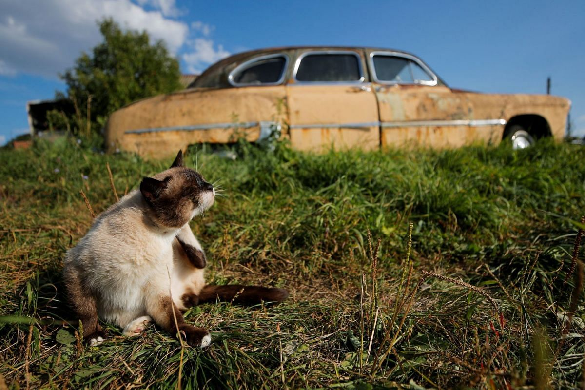 A photo released on Sept 28, 2018 show a cat sitting in front of a retro car owned by retired mechanic Mikhail Krasinets at an open-air museum of Soviet-era vehicles in the village of Chernousovo, Tula region, Russia August 28, 2018. PHOTO: REUTERS