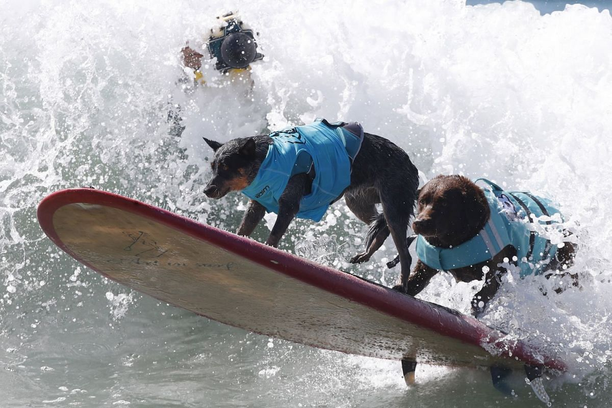 Bono (R) and Maya (L) ride a wave in the Tandem category at the Surf City Dog Surfing championship in Huntington Beach, California, USA, Sept 29, 2018.