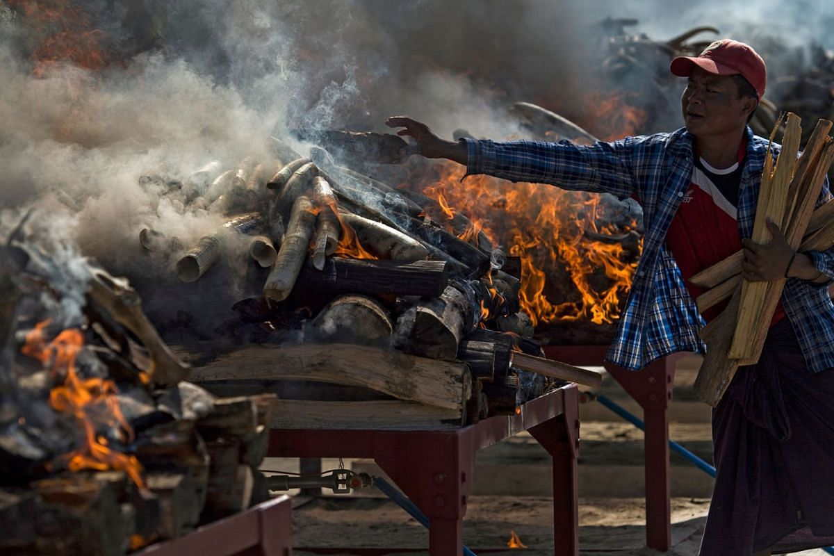 A man adds wood to the fire as elephant tusks are burned during a ceremony to destroy confiscated wildlife parts in Naypyidaw on October 4, 2018. Elephant skin, clouded leopard parts and tiger bone were among the hundreds of animal parts worth 1.3 mi